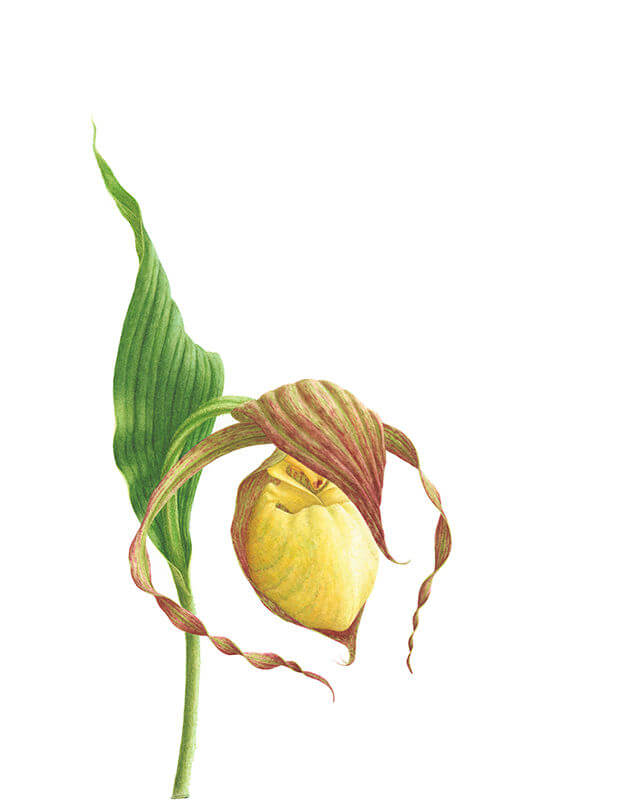 Lady's Slipper Orchid (Cypripedium Kentuckiense)