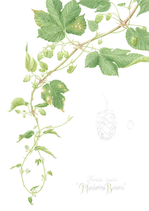 Mandarina Bavaria Hops