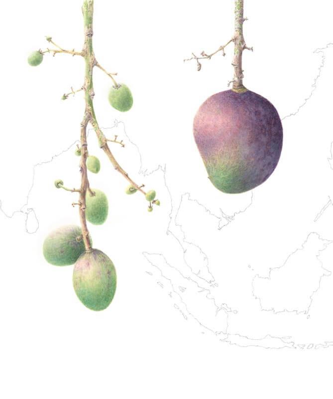 Mangifera Casturi-Kostrum
