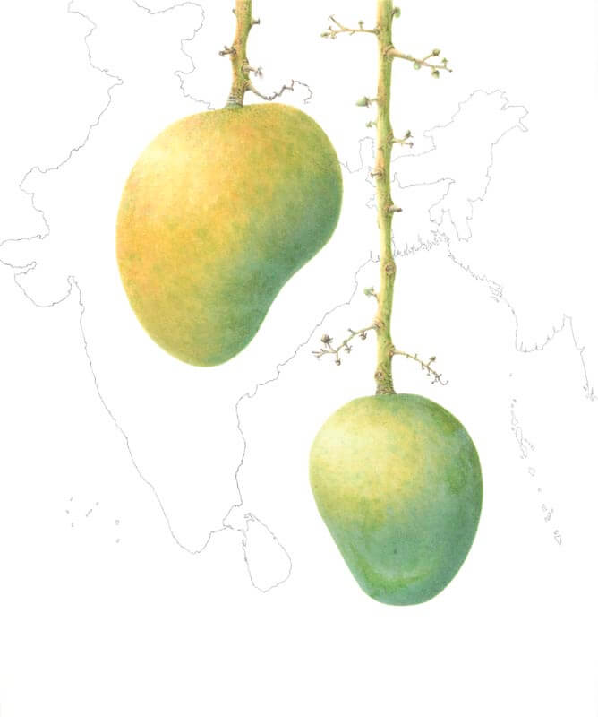 Mangifera Indica-Alphonso