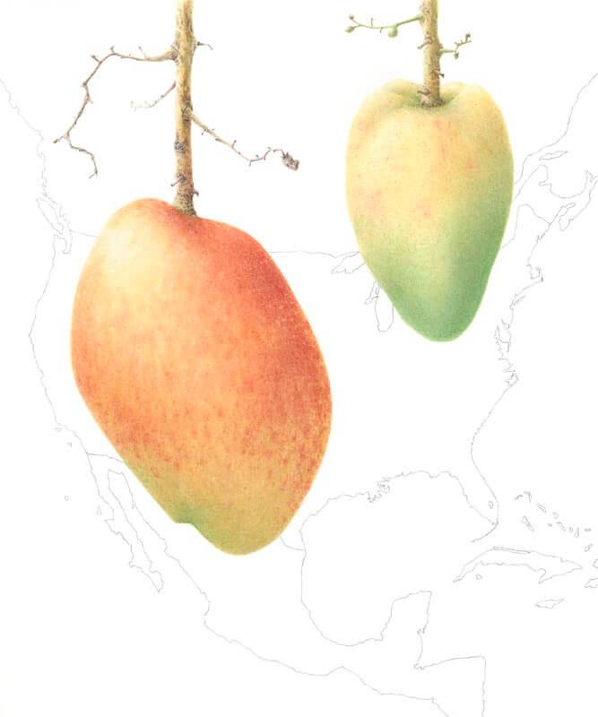 Mangifera Indica-Angie