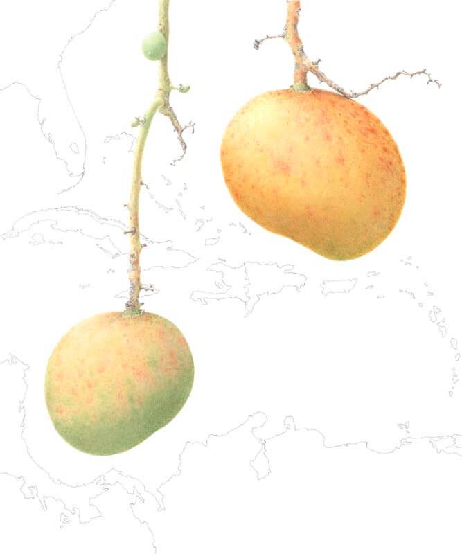 Mangifera Indica-Banilejo