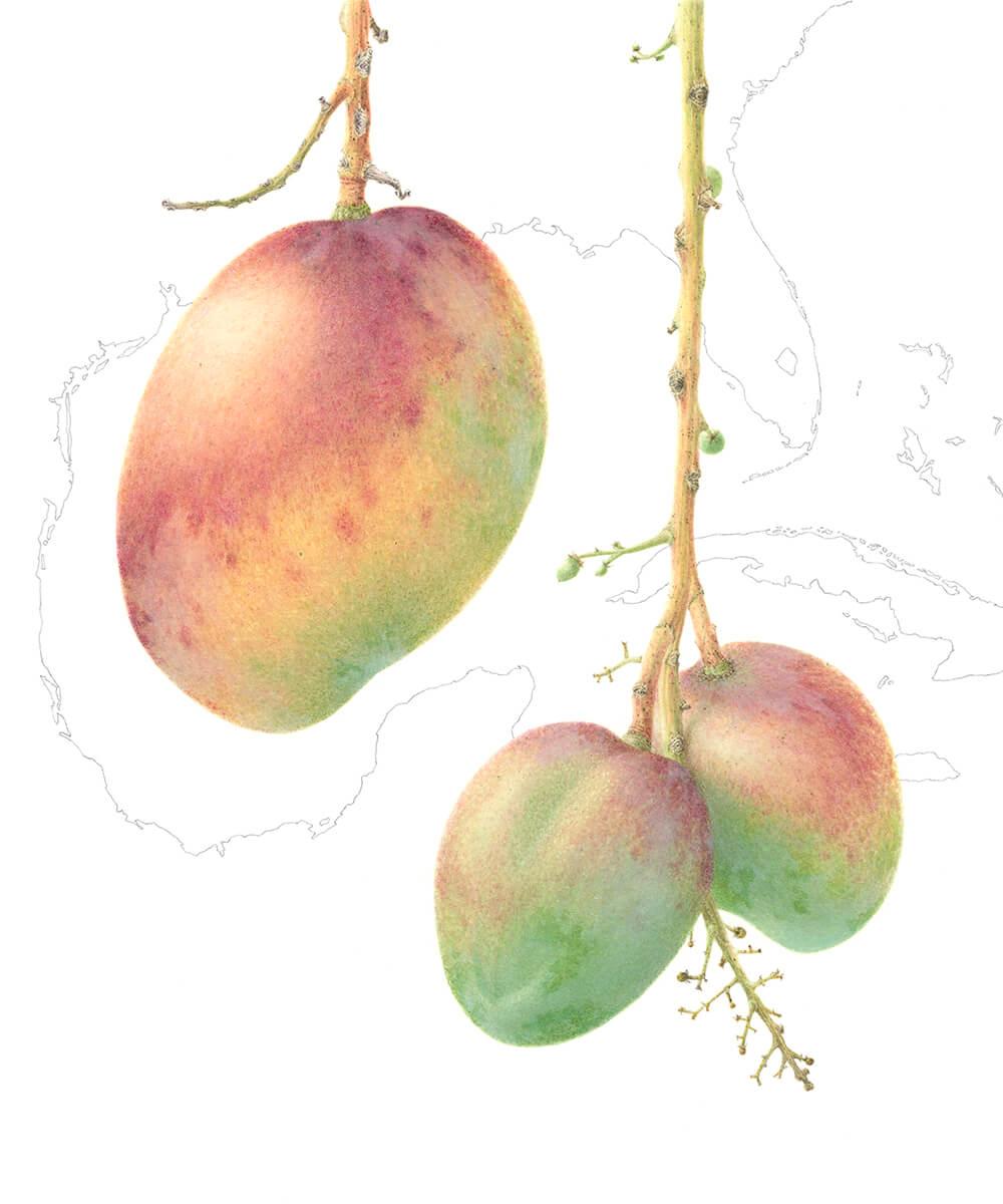 Mangifera Indica-Haden