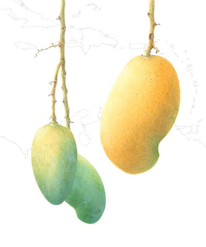 Mangifera Indica Madame Francis'