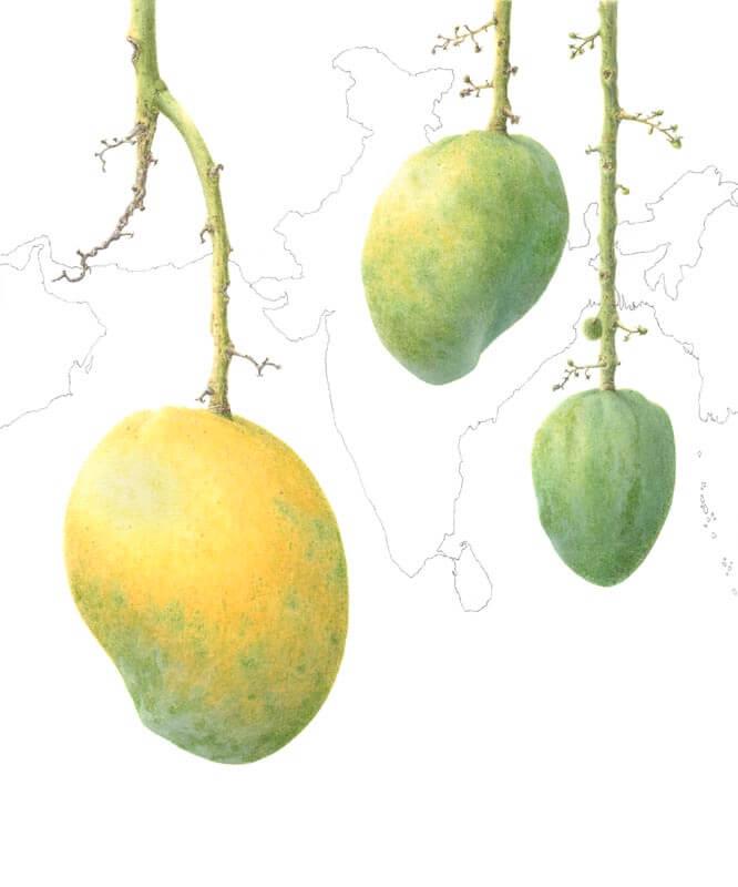 Mangifera Indica-Mulgoa