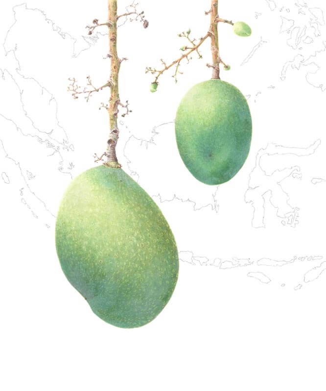 Mangifera Lalijiwa-Kosterm