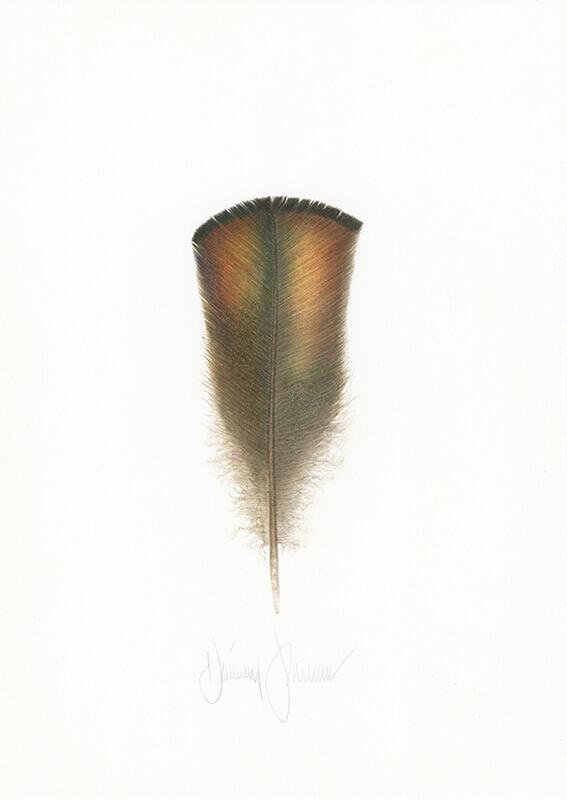 Osceola Wild Turkey Feather