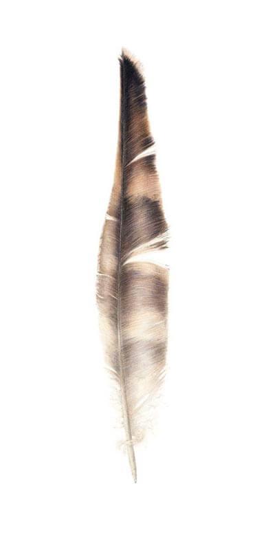 Osprey Feather