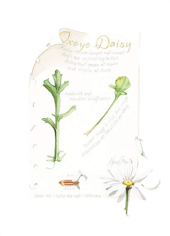 Oxeye Daisy Journal Page