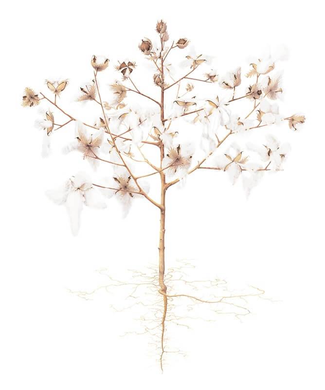 Upland Cotton (Gossypium hirsutum)