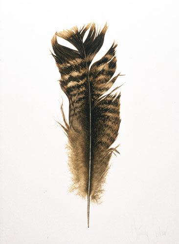 Wild Turkey Tail Feather